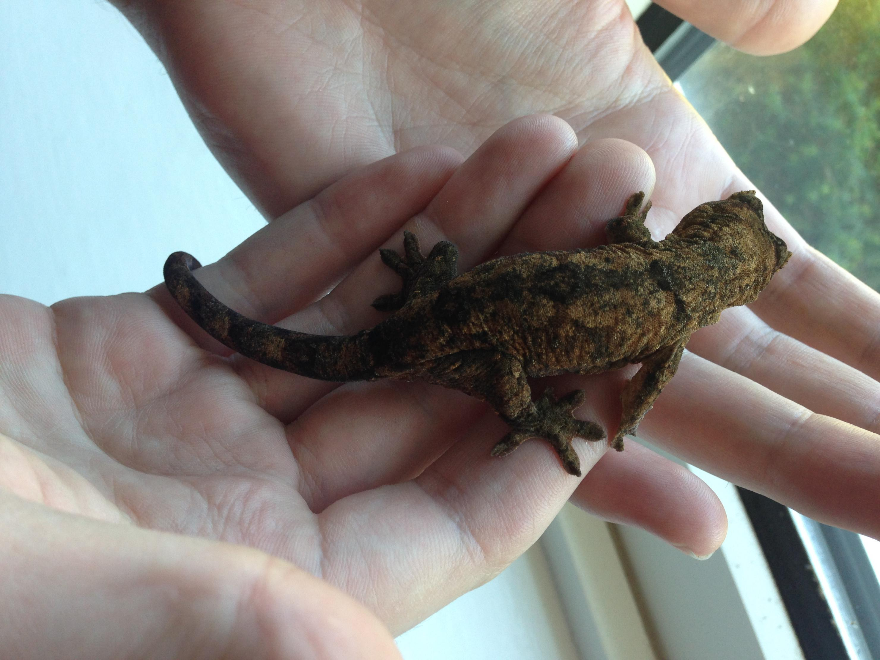 SW England Mossy and Crested Geckos For Sale, (Surrey