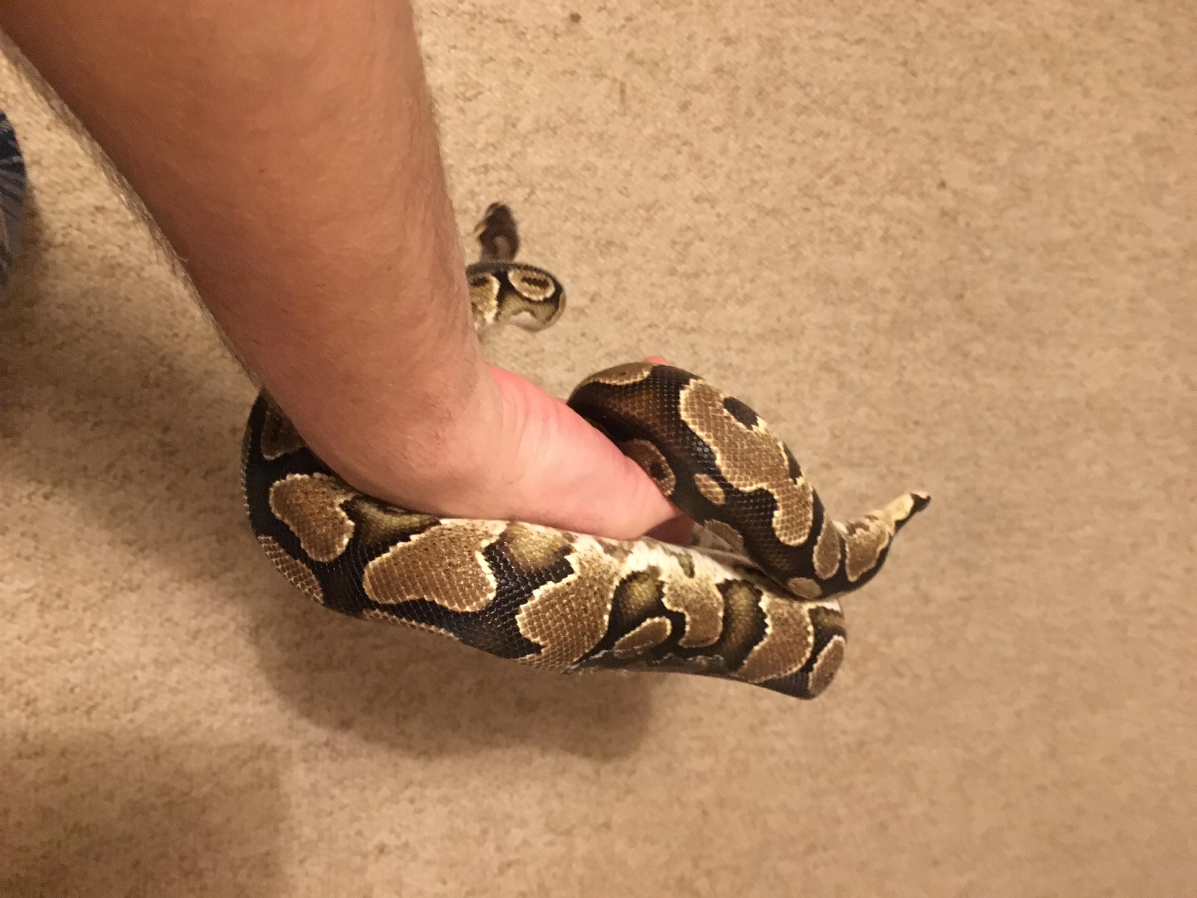 Adult Royal Pythons & Other Snakes for Sale-image_1545516410947.jpg