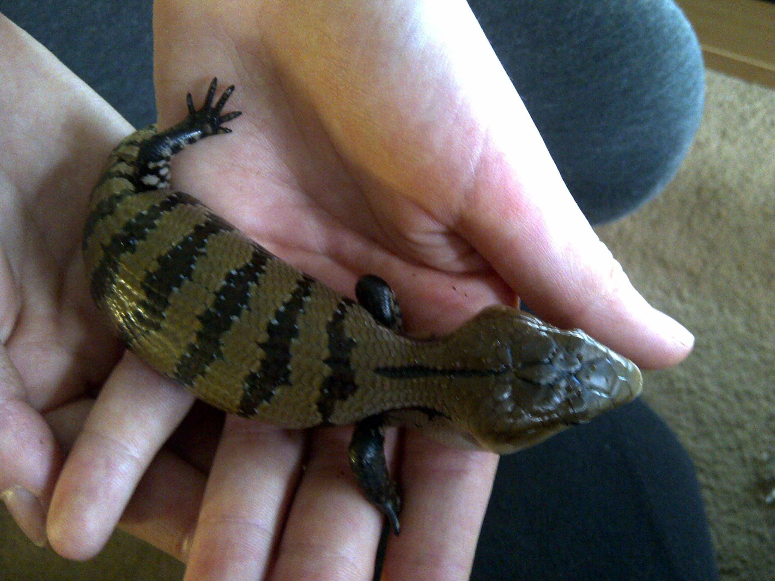 Ne England Baby Cb Blue Tongue Skinks Merauke Reptile Forums