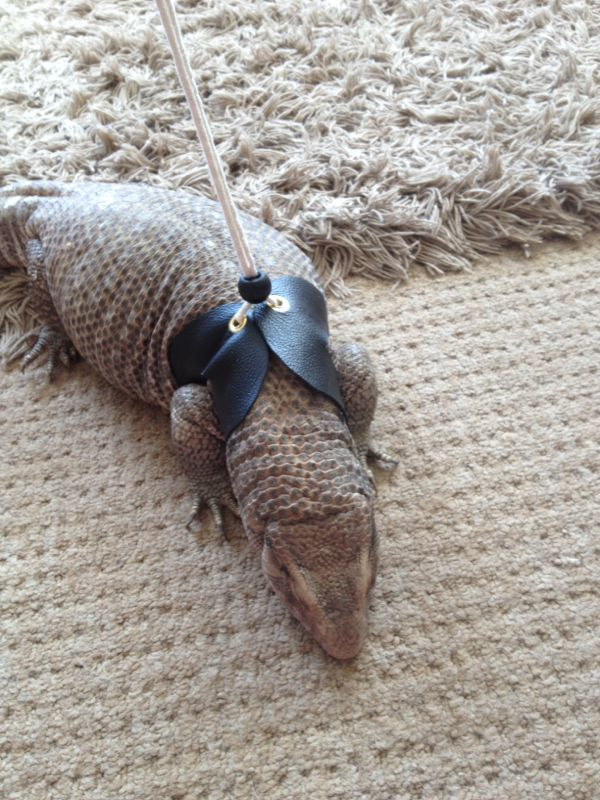 Reptile Forums - View Single Post - W Midlands Lizard harness
