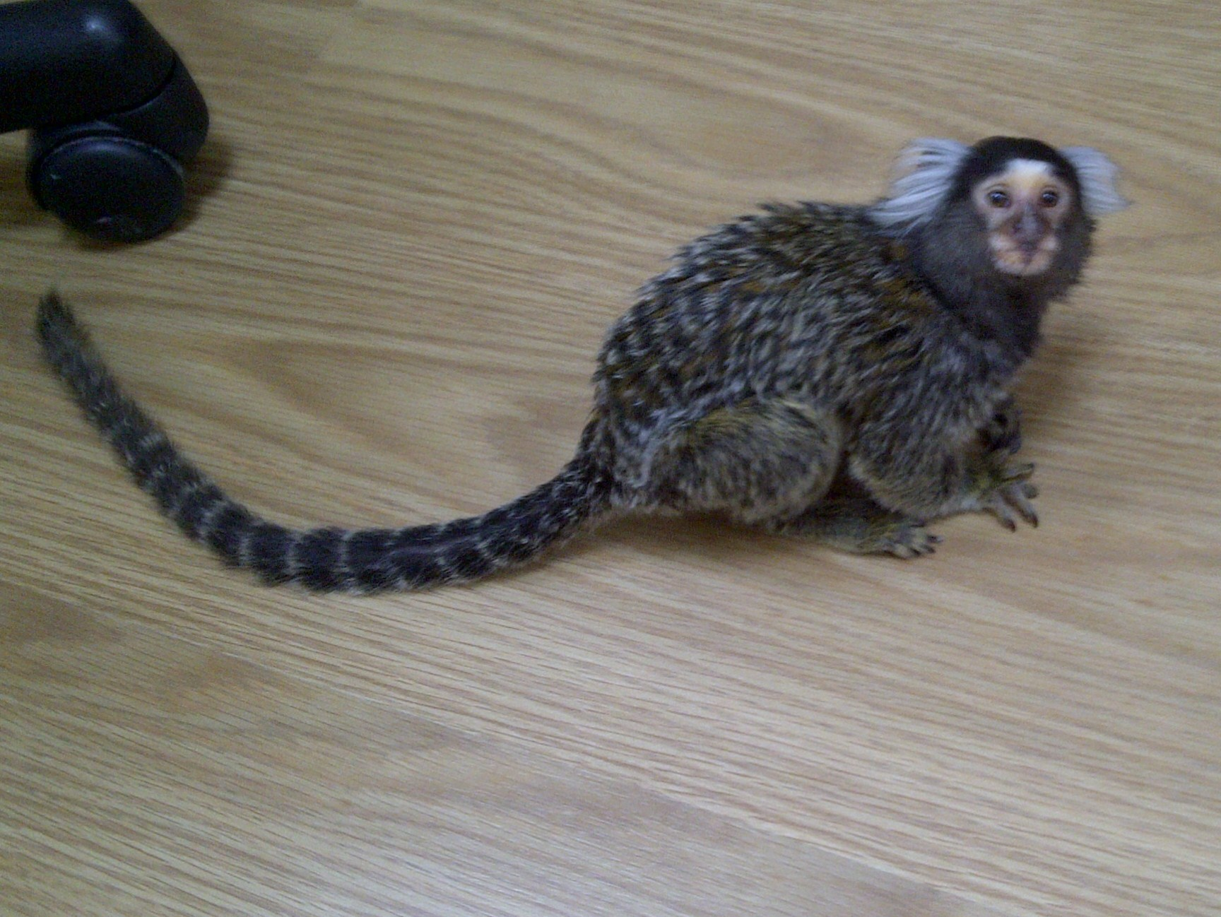 SE England Marmoset Monkey For Sale In London - Reptile Forums