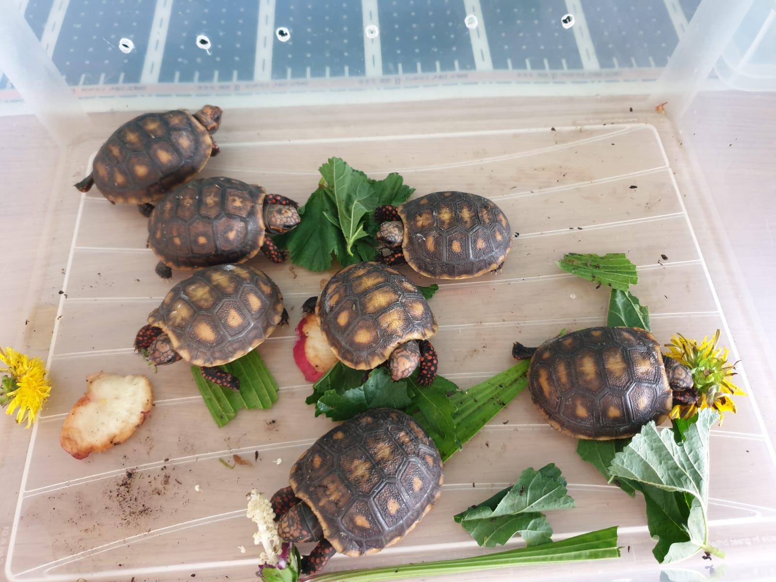 UK CB 2019 Red Foot tortoises available-img-20190904-wa0032_1568897805001.jpg