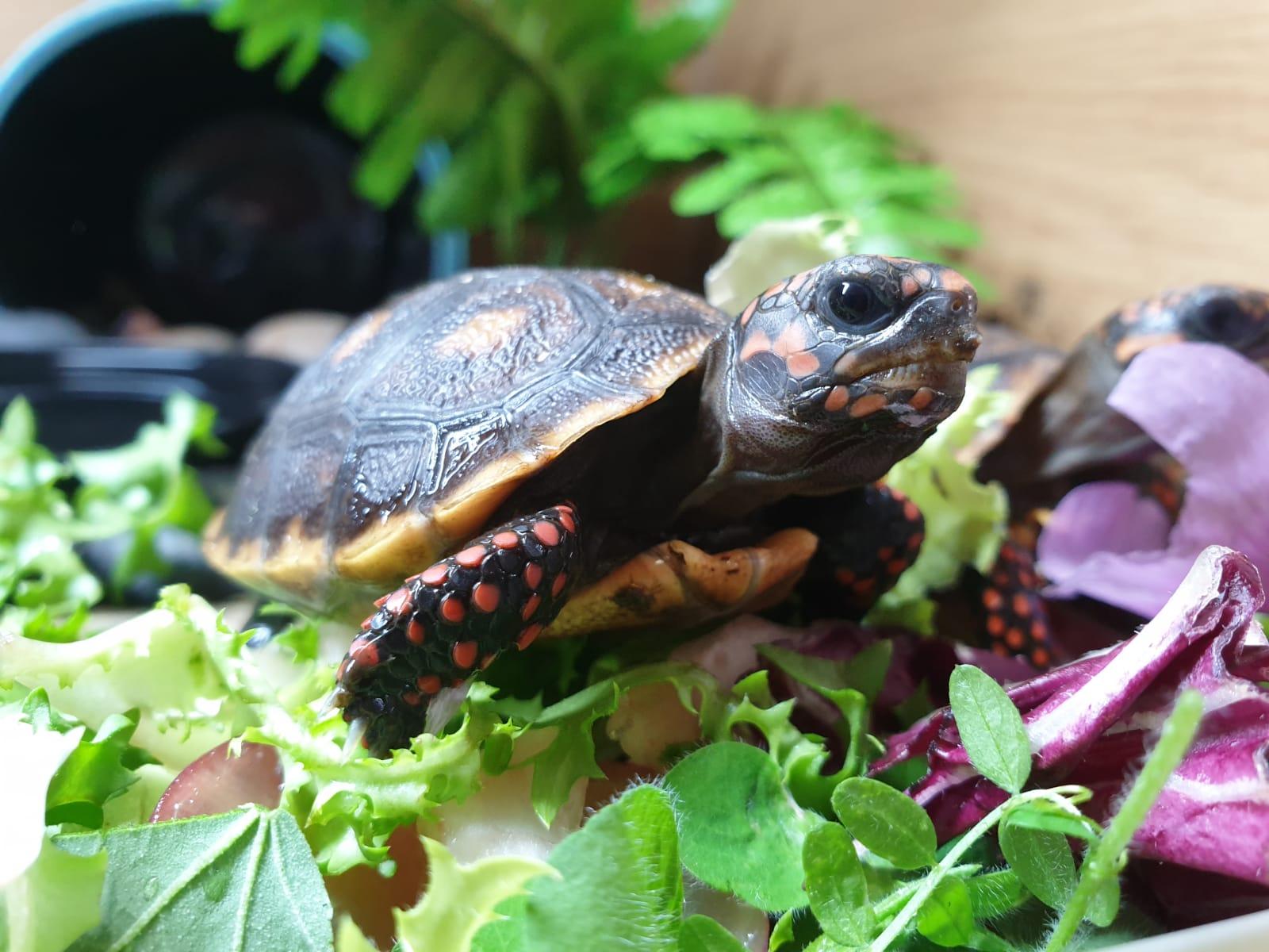 UK CB 2019 Red Foot tortoises available-img-20190910-wa0004_1568897780620.jpg