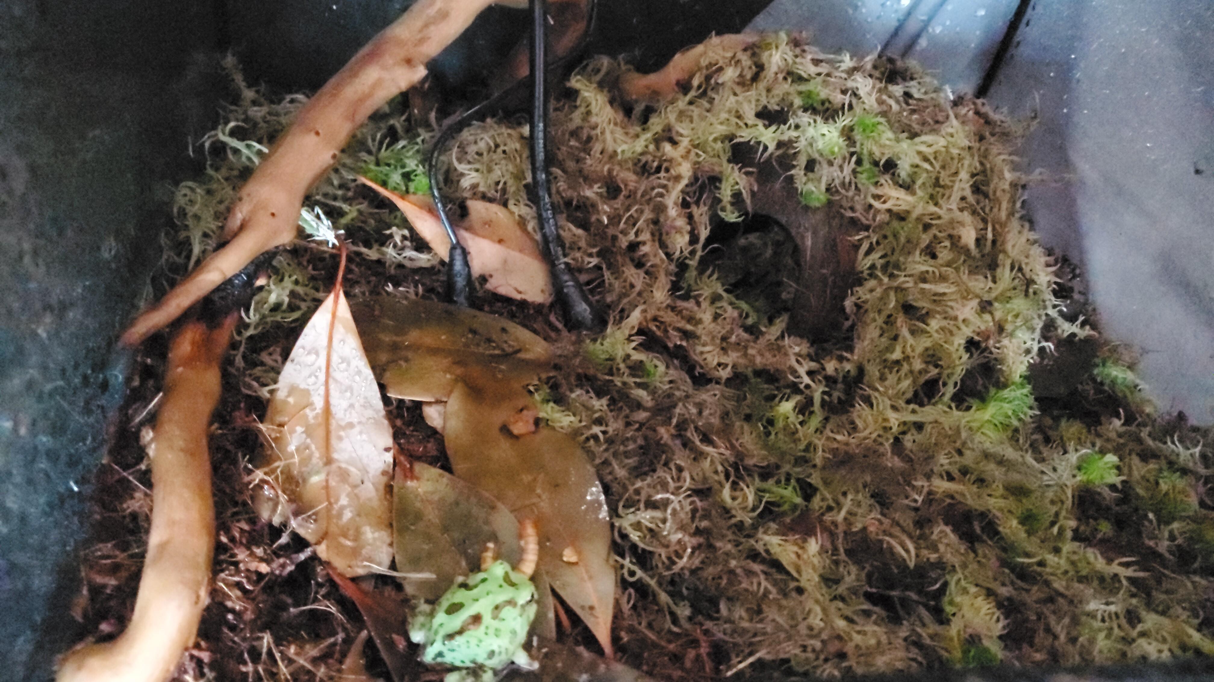 Pacman frog not eating.-img-20201009-wa0004_1602259053560.jpeg