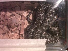 unusual morph various king snakes and black rat snakes-img00677-20111216-1512.jpg