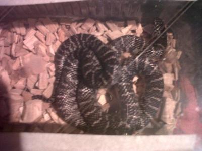 unusual morph various king snakes and black rat snakes-img00678-20111216-1513.jpg