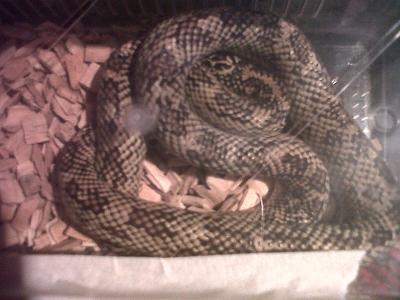 unusual morph various king snakes and black rat snakes-img00679-20111216-1513.jpg