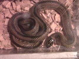 unusual morph various king snakes and black rat snakes-img00681-20111216-1514.jpg