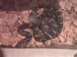 unusual morph various king snakes and black rat snakes-img00682-20111216-1514.jpg