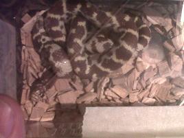 unusual morph various king snakes and black rat snakes-img00683-20111216-1514.jpg