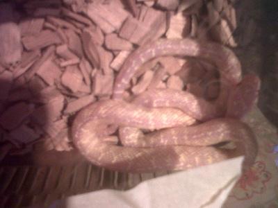 unusual morph various king snakes and black rat snakes-img00684-20111216-1515.jpg
