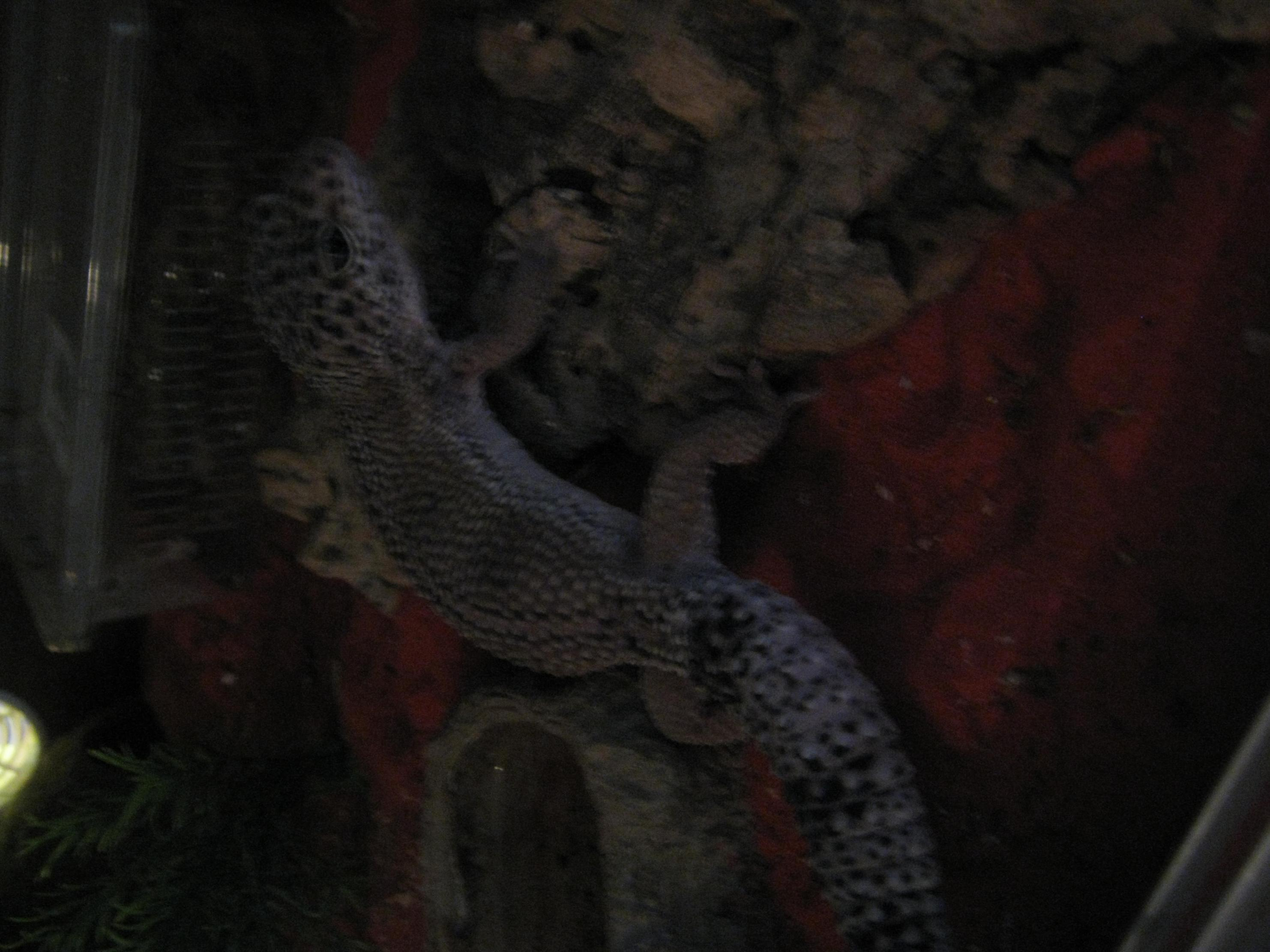 SE England hypo mack snow leopard gecko and set up - Reptile