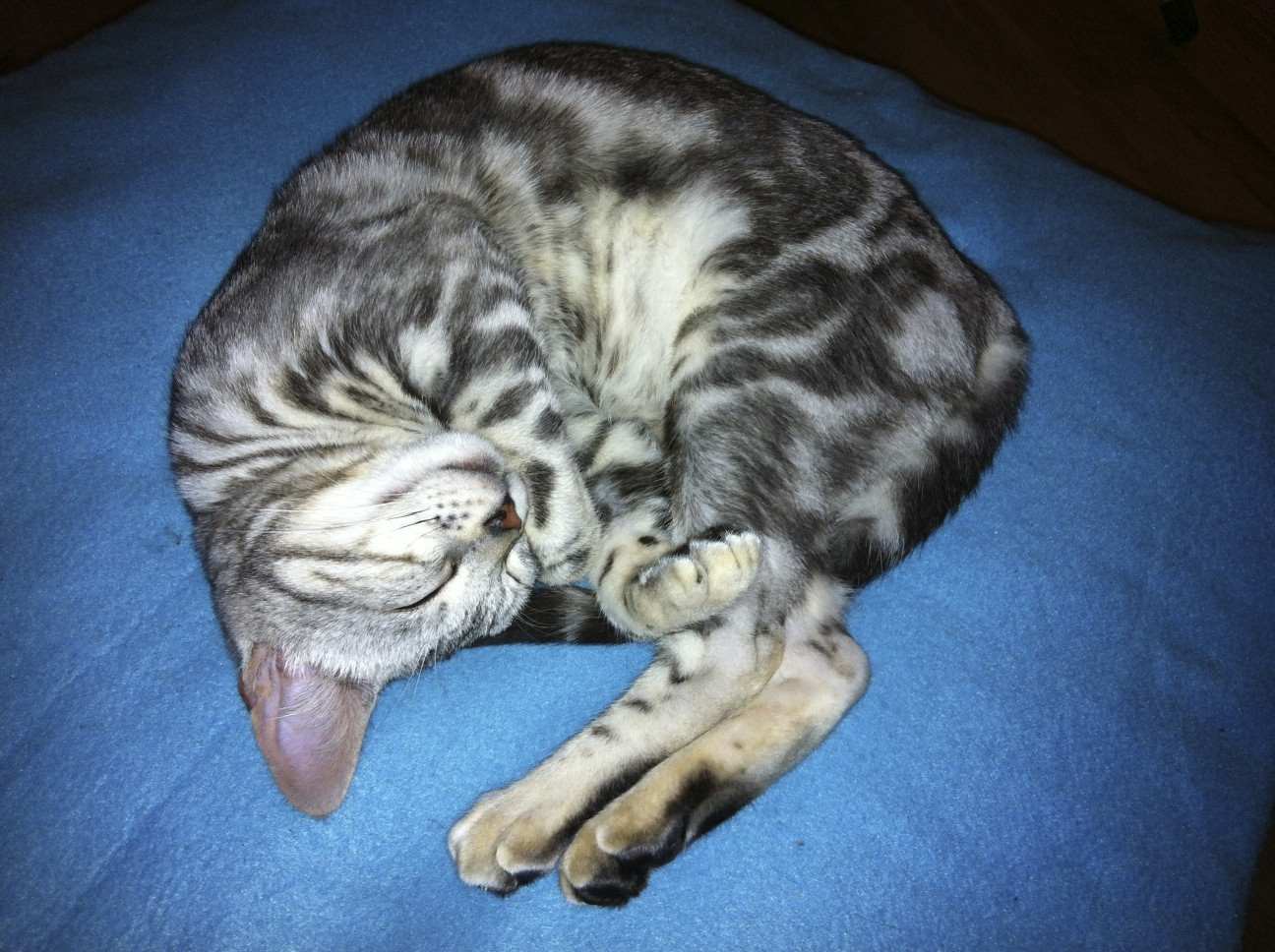 25 Adorable Marble Bengal Kitten | Kittens cute wallpapers
