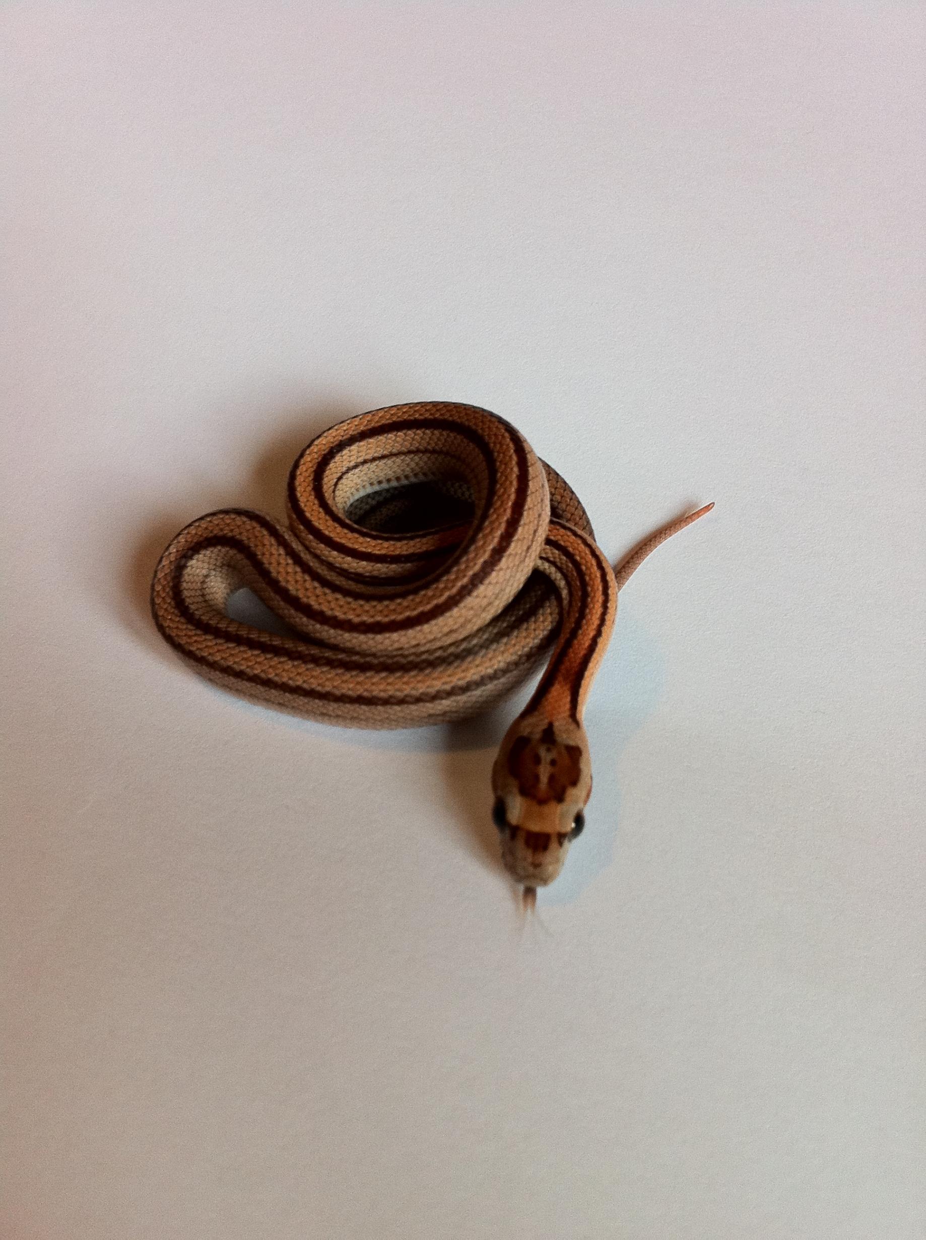 brown corn snake