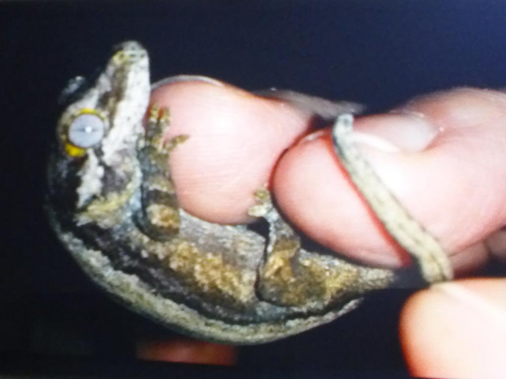 Gargoyle Gecko Babies-img_20160708_203253.jpg