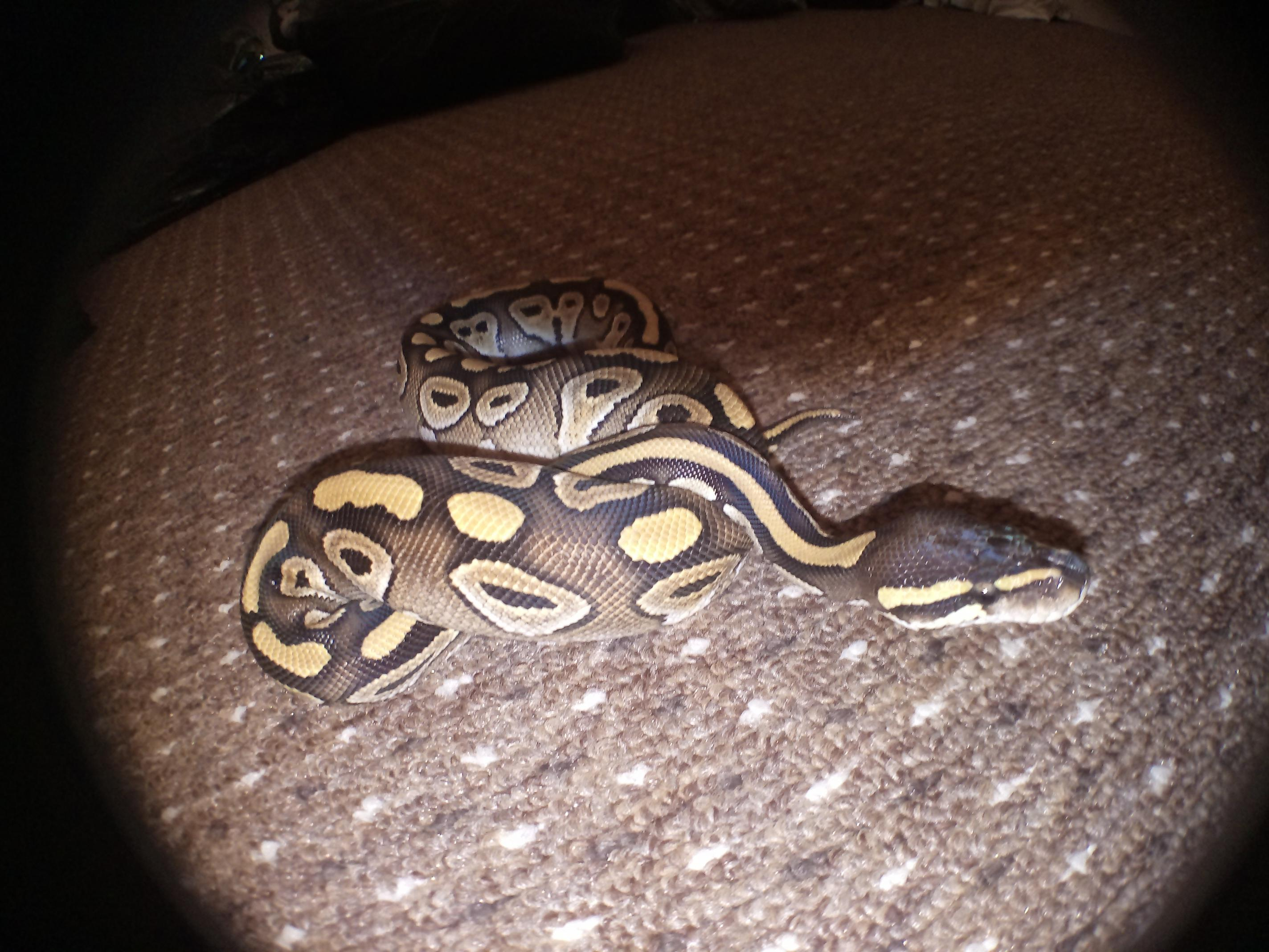 2016, Female Blue Eyed Lucy and Female 2016 Mojave Royal Pythons-img_20170216_161508.jpg