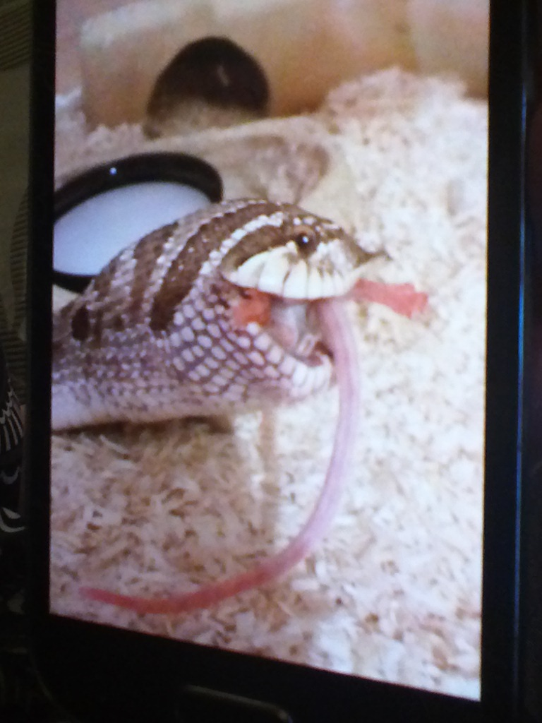 Western Hognose Female-img_20170218_203727.jpg