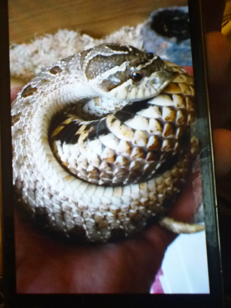 Western Hognose Female-img_20170218_203901.jpg