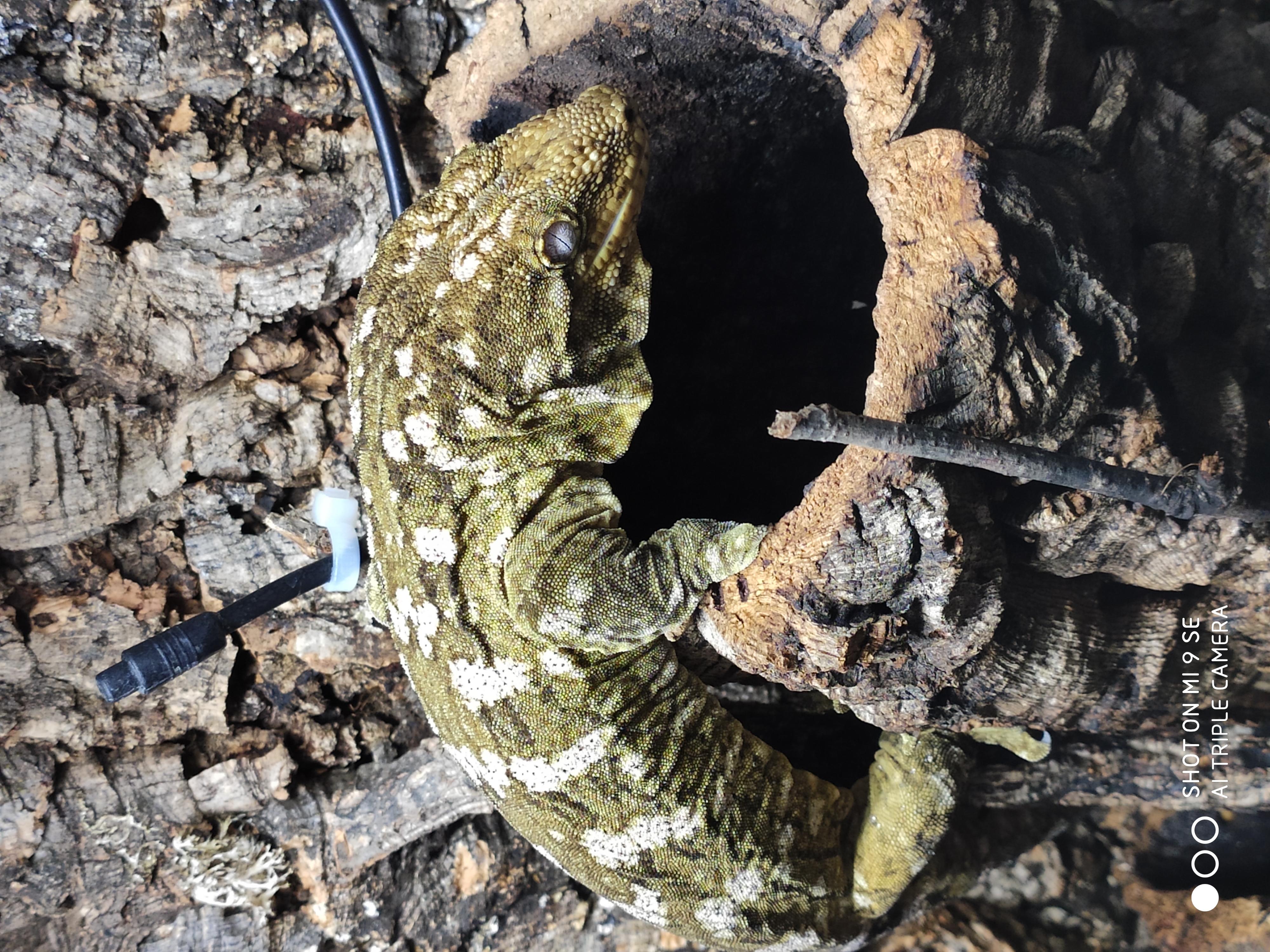Adult Male Moro Isle Leachianus Gecko (leachie)-img_20190612_202110.jpg