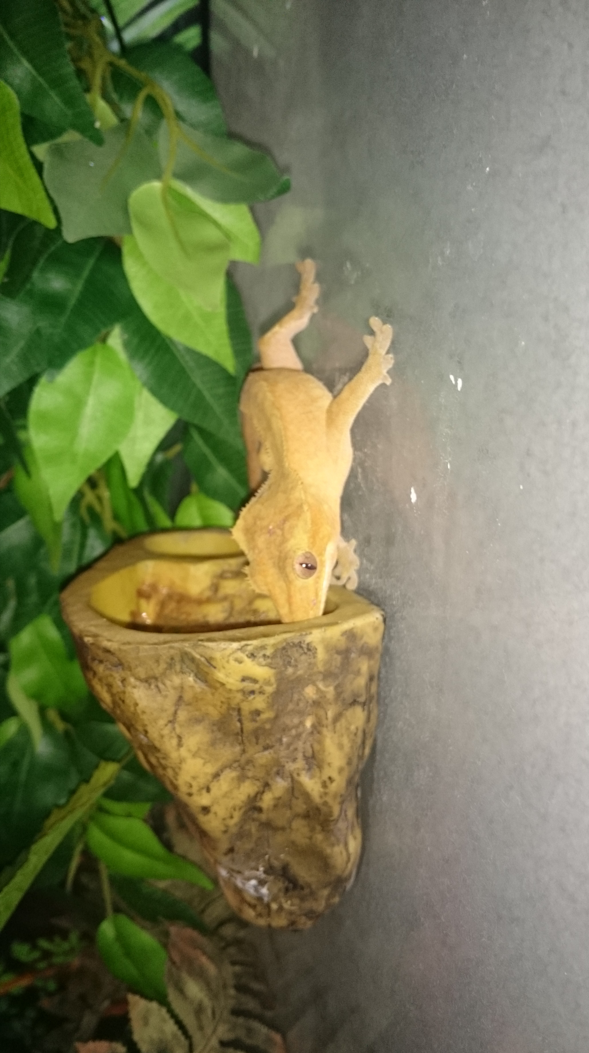 Breeding trio Crested Geckos & Full Bio set up-img_20190616_171824.jpg