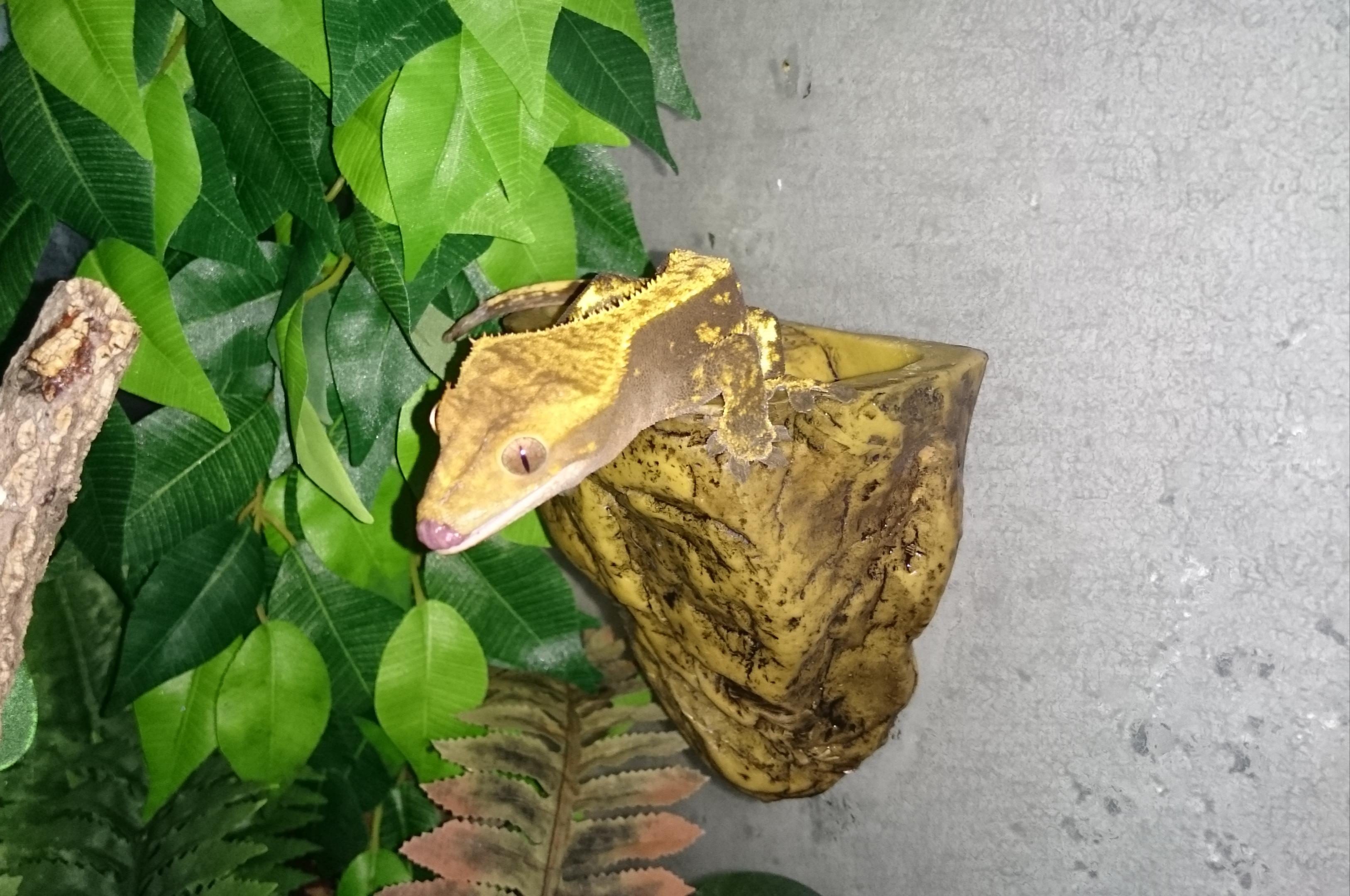 Breeding trio Crested Geckos & Full Bio set up-img_20190616_171949.jpg