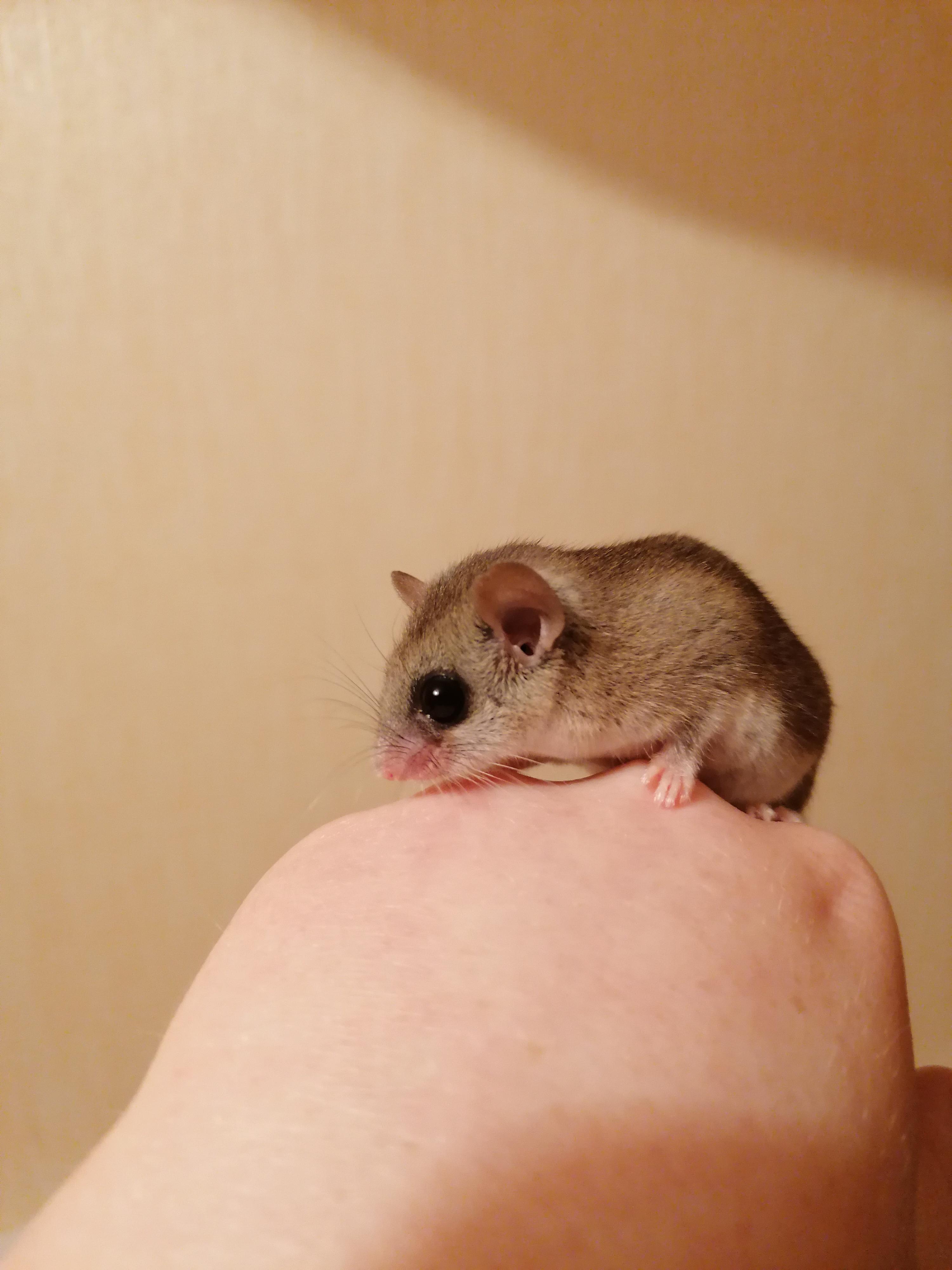 Sexing micro squirrel-img_20200816_235947_1597659729426.jpg