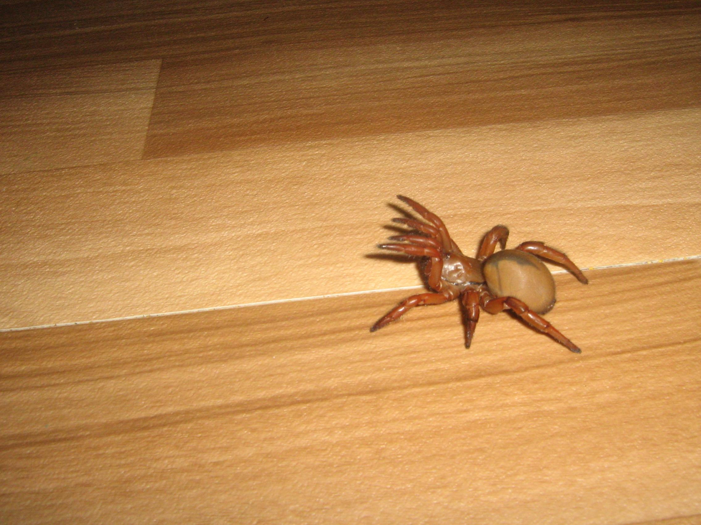 Nw England For Sale Red Trapdoor Spider Reptile Forums