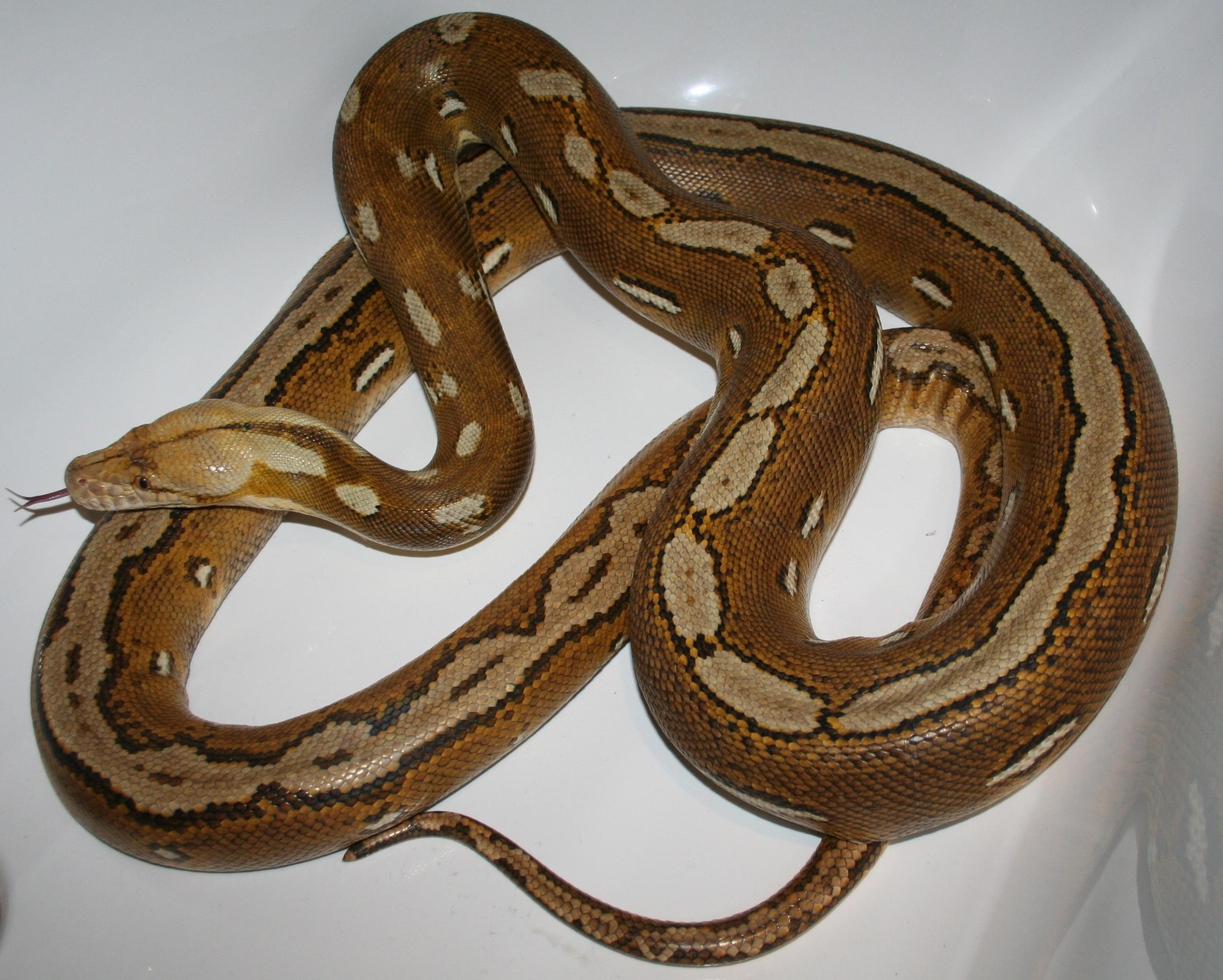 Baby Reticulated Python Reticulated python morphs for