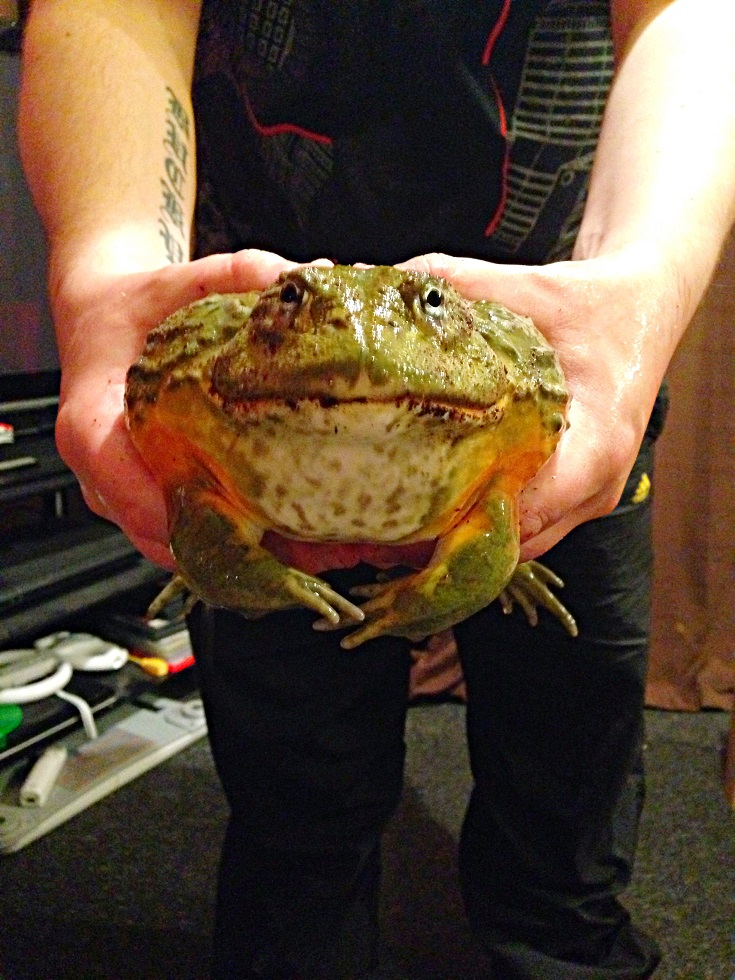 Scotland Male Giant African Bullfrog With Setup Reptile