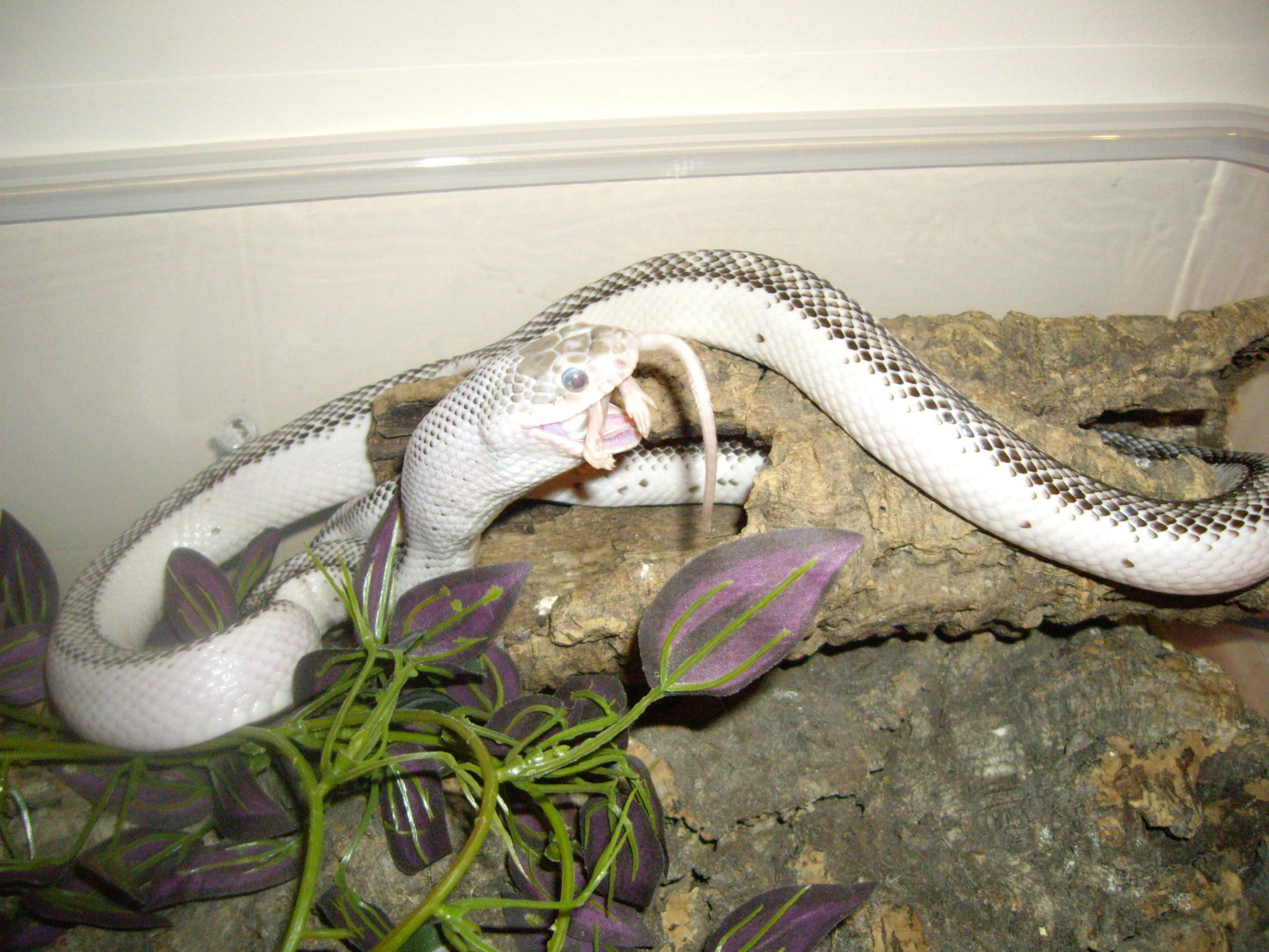 SW England White Sided Texas Rat Snake - Reptile Forums
