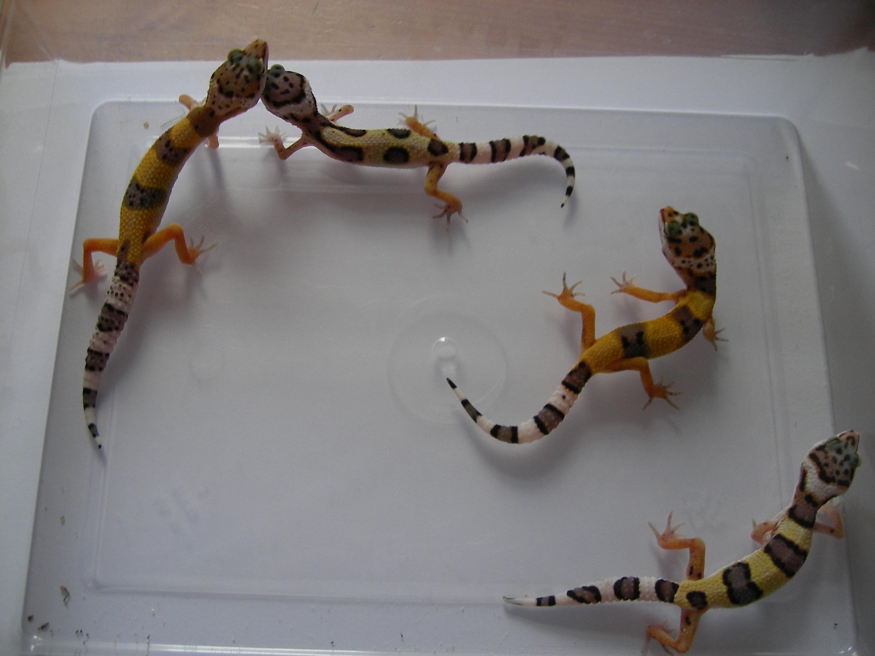 NE England Baby Leopard Geckos for sale - Reptile ForumsLeopard Gecko Hatchling For Sale