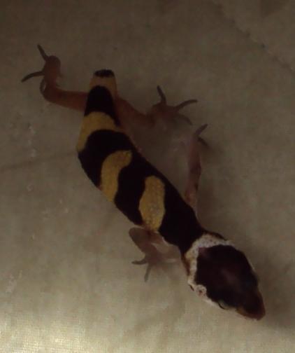Scotland Hatchling Leopard Geckos For Sale - Reptile ForumsLeopard Gecko Hatchling For Sale