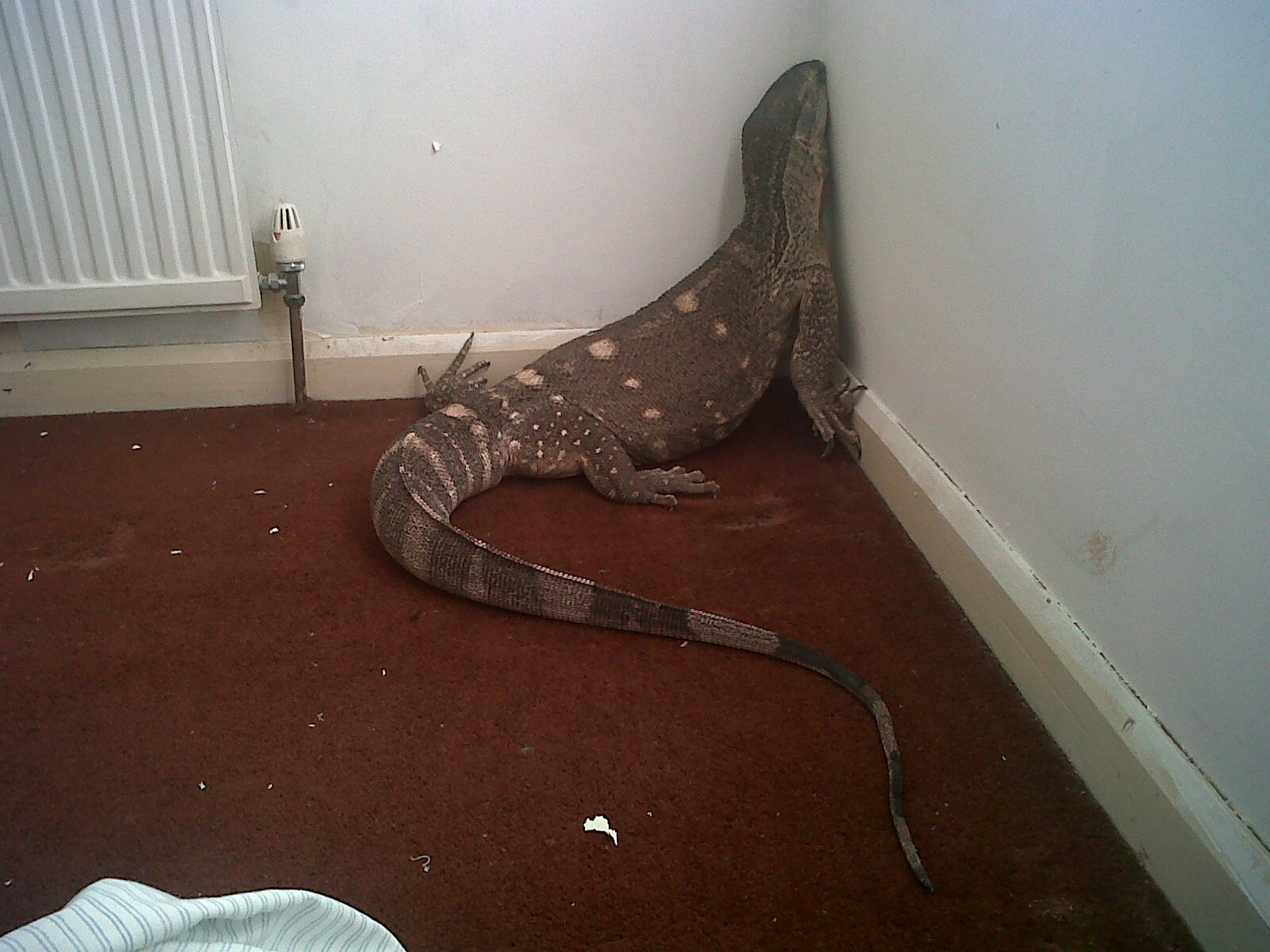 E Midlands White Throated Monitor Lizard for sale ...