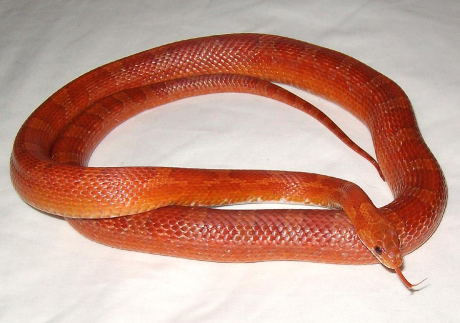 Bloodred and Anery Corn Snakes-lycan___seventeen_by_medusii.jpg