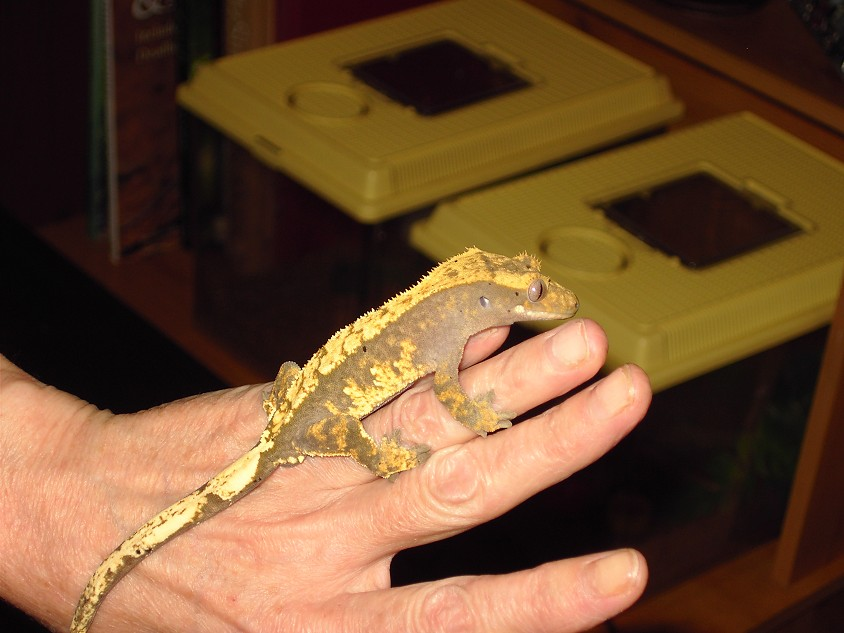 Male Crestie and brand new never used Exo-male-crestie-harly-dal.jpg