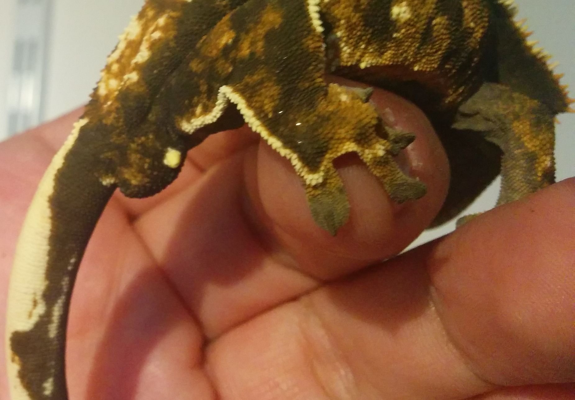 Crested gecko: is this girl a boy?-male-female-2.jpg