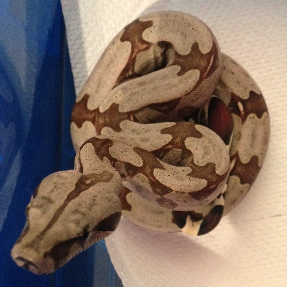 True Red Tail Boa Boa Morphs And True Red Tail