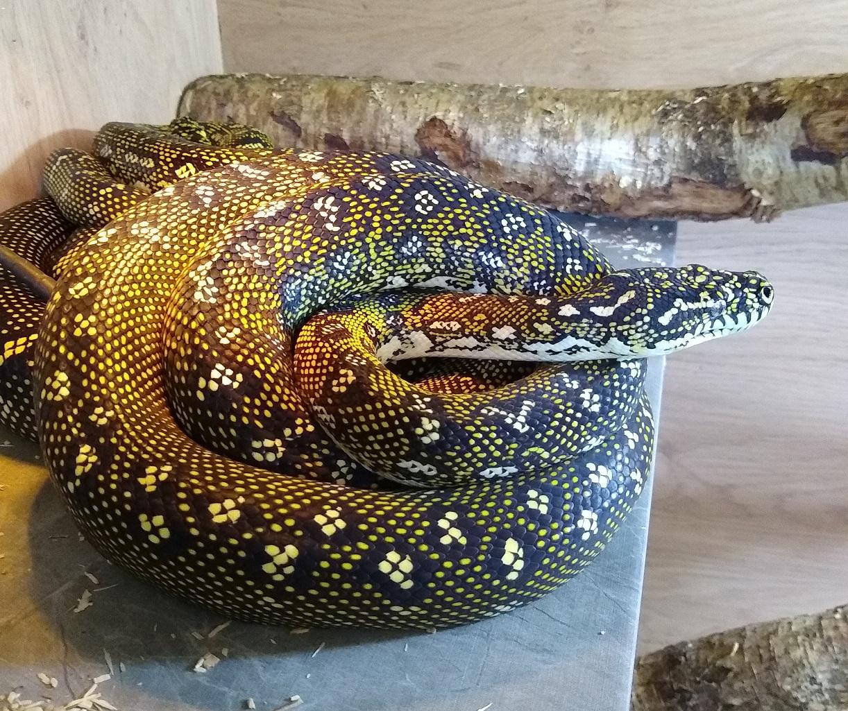 Diamond Python Appreciation-male.jpg