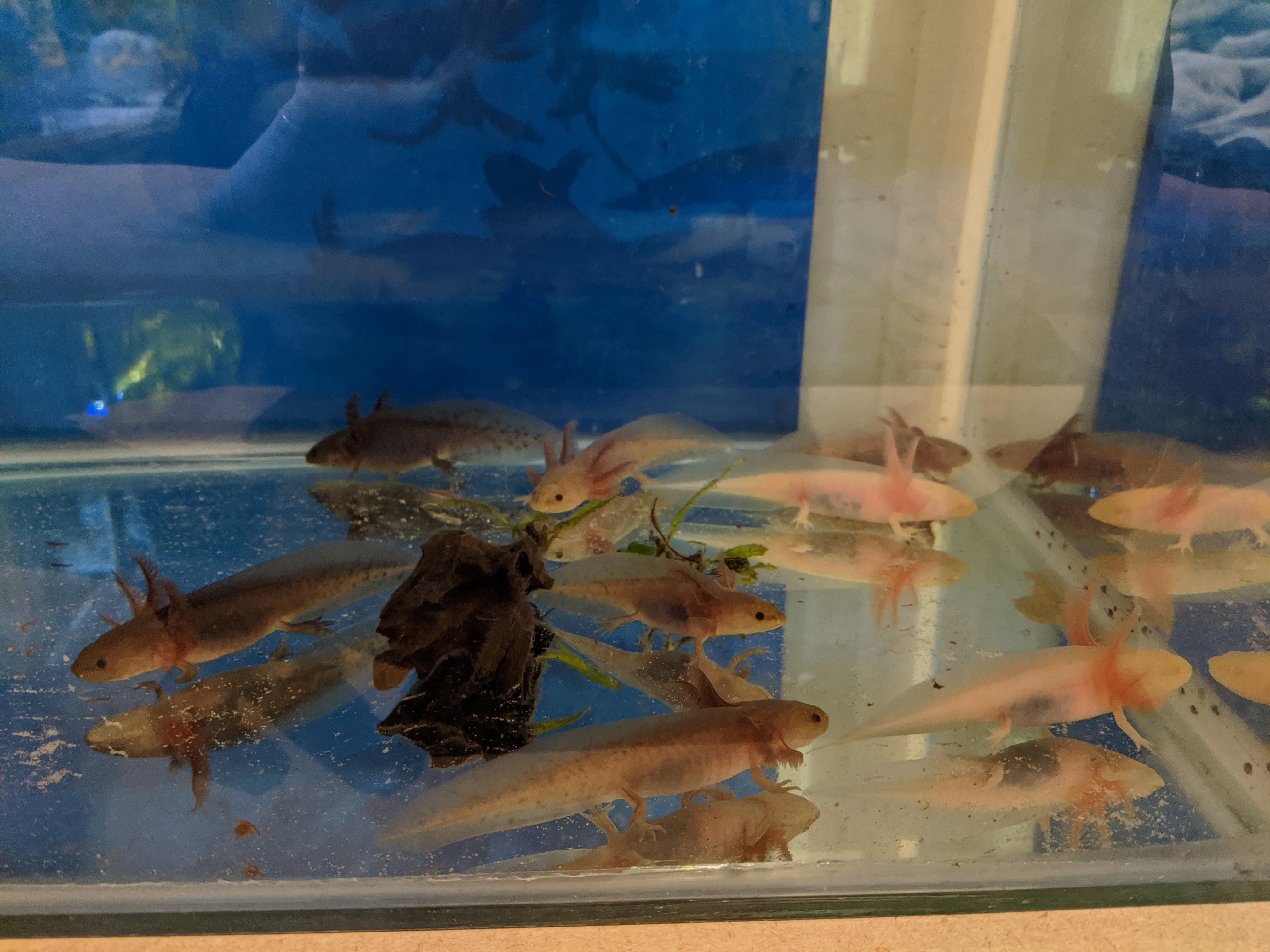 Some of my Axolotls-mix-babies.jpg