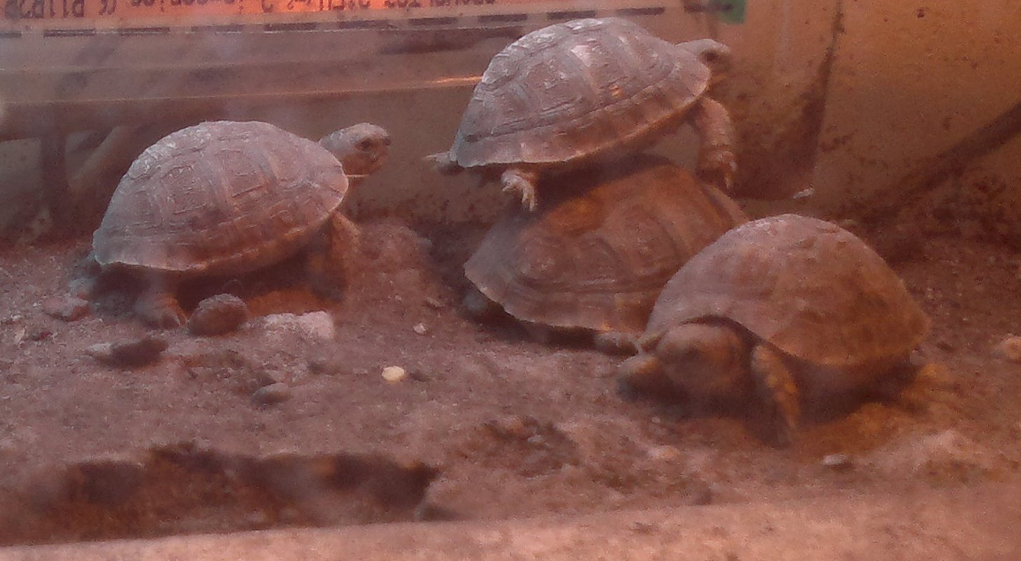 2011 Baby Tunisian Spur thighed Tortoises for sale-modified.jpg
