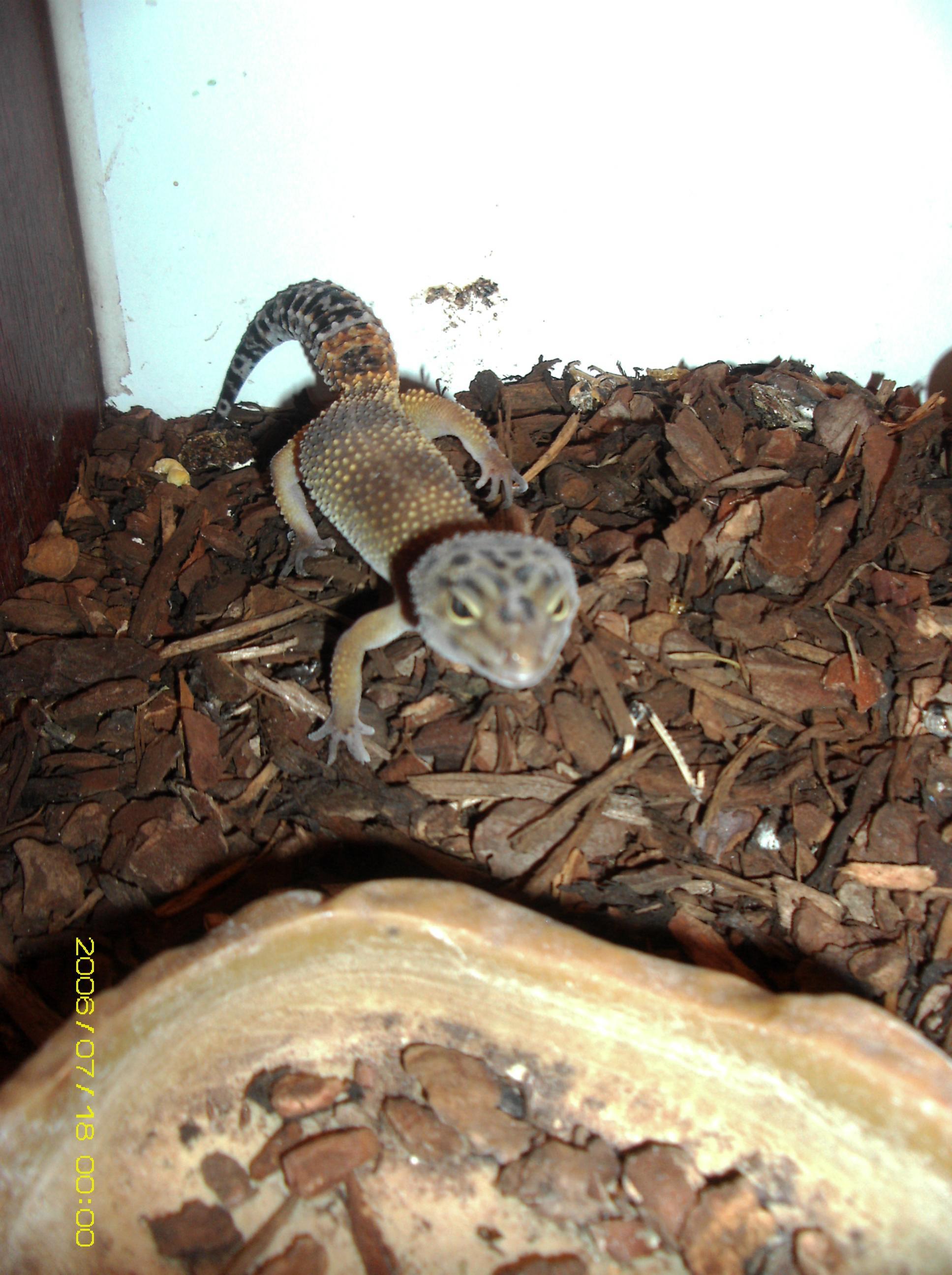 1 Hype leopard gecko and 1 normal leopard gecko and setup for sale Basildon Area-mydc0061.jpg