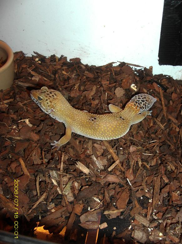 1 Hype leopard gecko and 1 normal leopard gecko and setup for sale Basildon Area-mydc0062.jpg