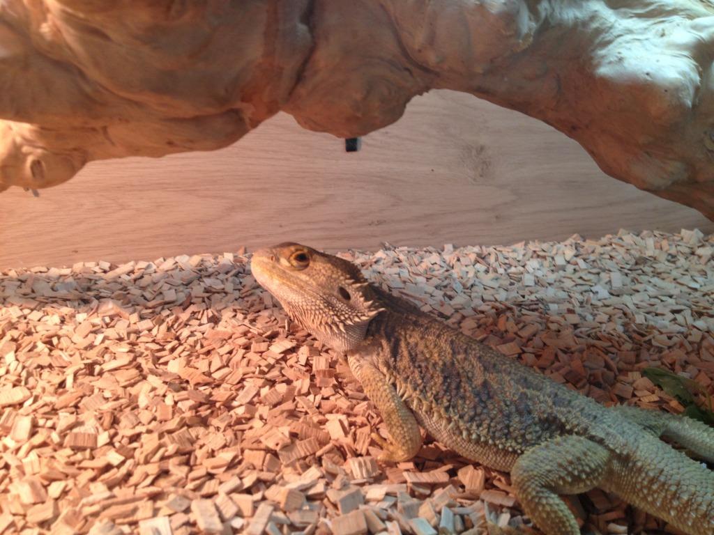 Se England Male Bearded Dragon With 4ft Vivarium Full