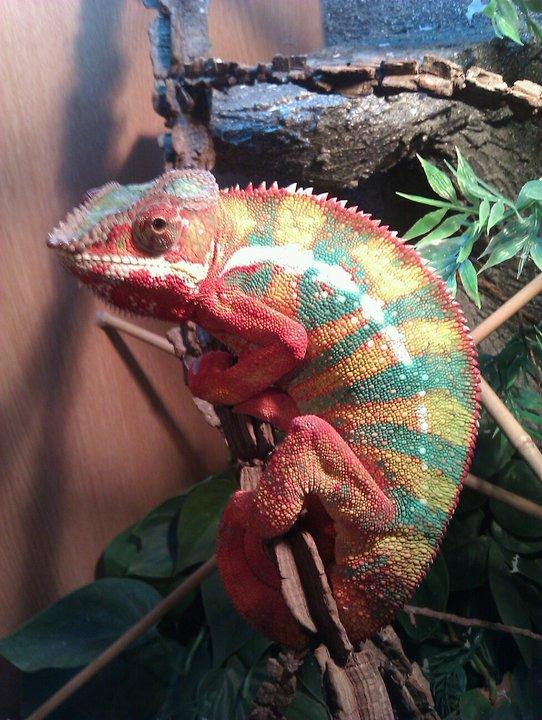 baby ambilobe panther chameleons-p jpgBaby Ambilobe Panther Chameleon