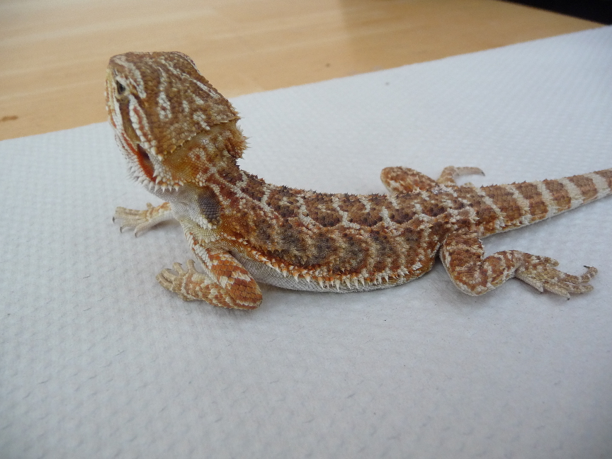 SW England Blood red bearded dragons for sale in wiltshire