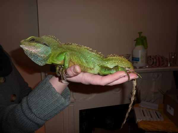 Eastern 2 X Chinese Water Dragons And Viv For Sale