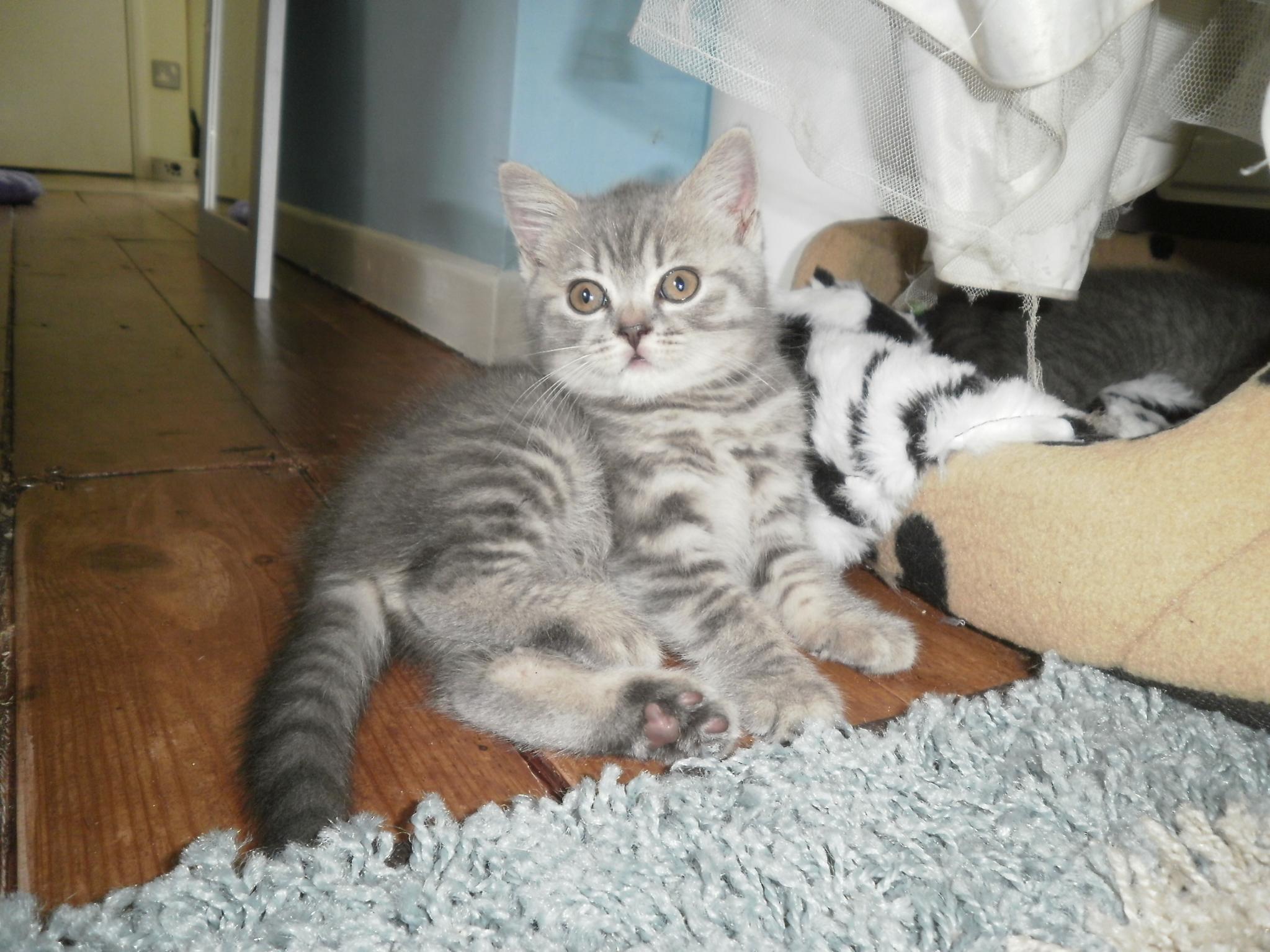 Kitten Short or Long Hair British Short Hair Kitten For
