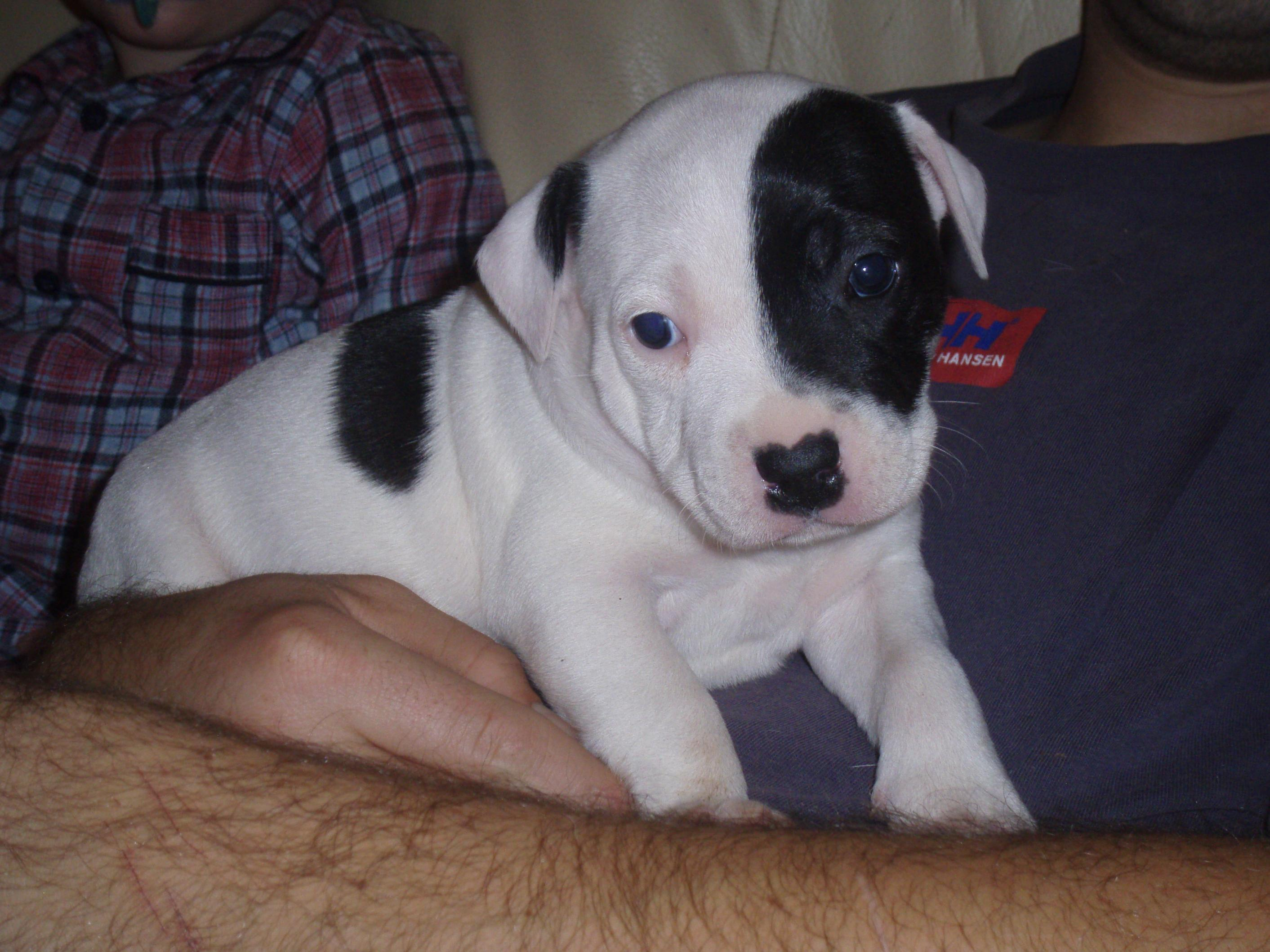 Staffordshire Bull Terrier For Sale In Pa