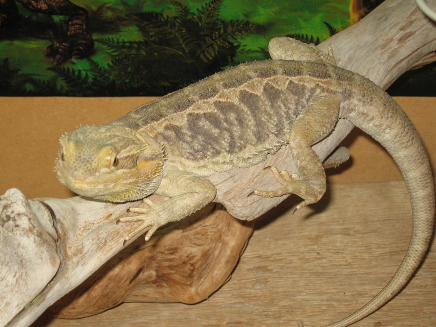 Nw England Bearded Dragons Breeding Pair Amp Full Vivarium Set Up Reptile Forums