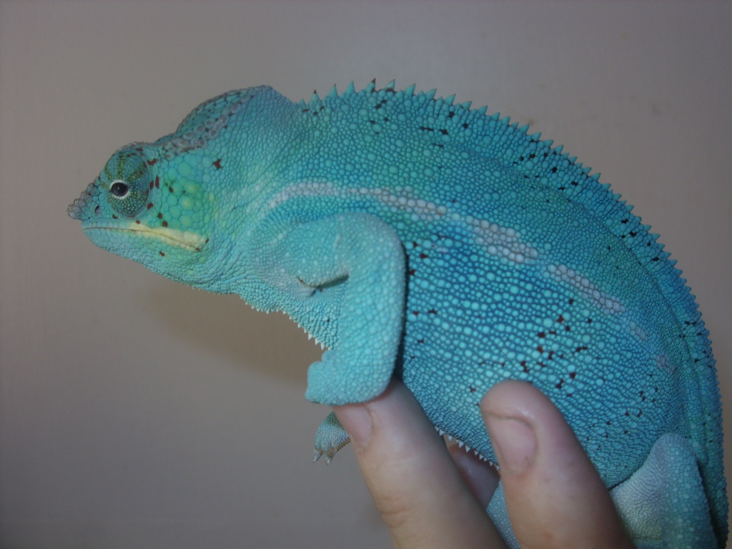 Baby Chameleons For Sale In Minneapolis